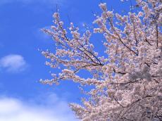 桜1_convert_20110406220922