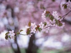 桜2_convert_20110406221026