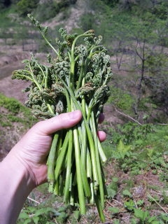 ワラビ収穫
