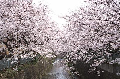 cherryshinyuri