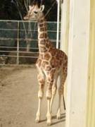 2007年10月6日に生まれたキリンの仔ども「マオ」