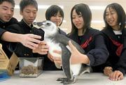大分市の賀来小中学校にペンギンがやって来た