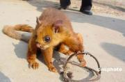 「飛狐」とよばれる稀少野生動物