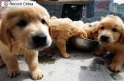 遼寧省大連市盲導犬訓練基地で