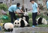 双子の赤ちゃんパンダ、無事に誕生!―四川省成都市
