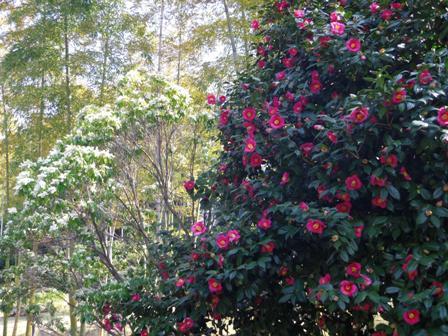 日本庭園の椿