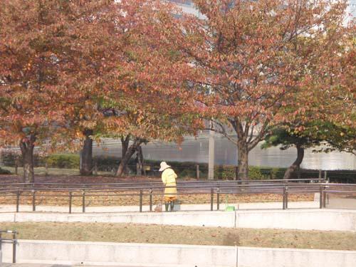 秋の風物詩 コウテイダリアと落ち葉掃き
