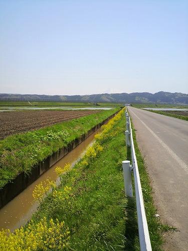 子吉菜の花2245