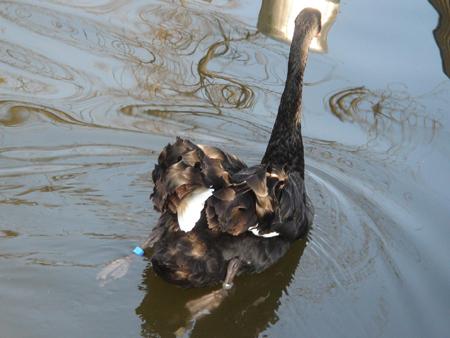 bruck swan