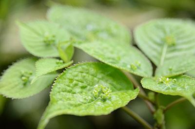 ハナイカダの花