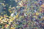 池の木の葉