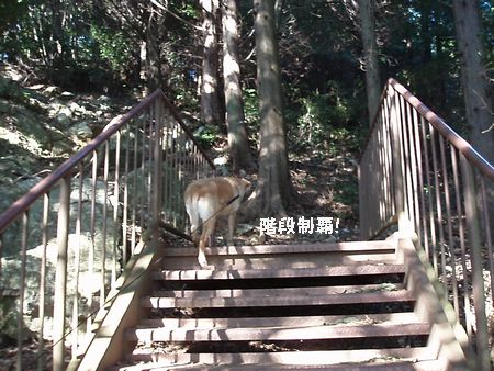 この階段は、はなちゃん平気です。なぜ??