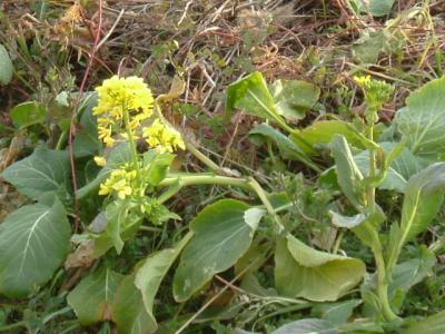 踏切側・菜の花