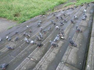 階段には鳩の群れが(+_+)