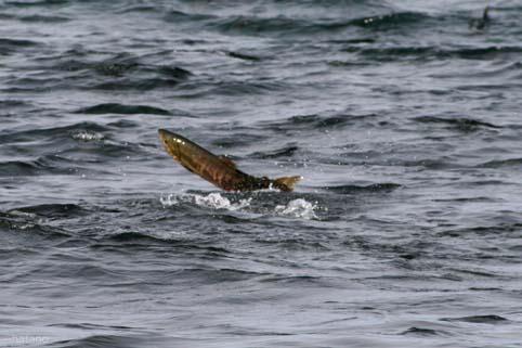 鮭の遡上-1