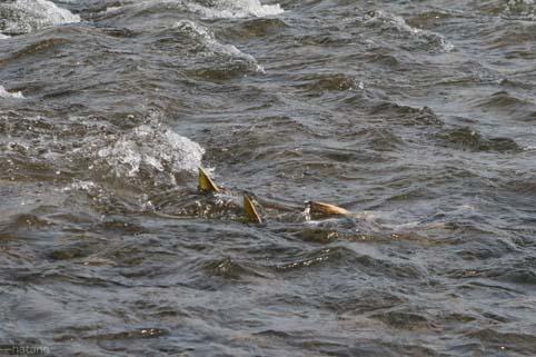 鮭の遡上-2