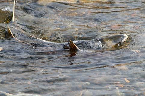 鮭の遡上-3