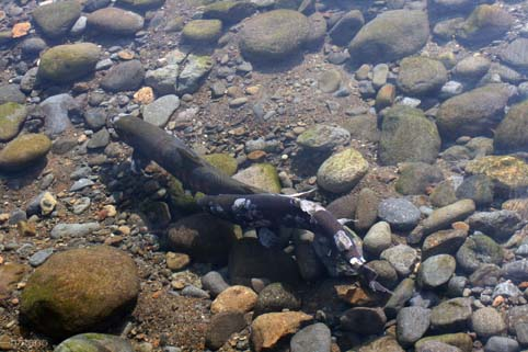 鮭の遡上-7