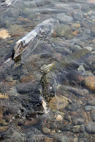 鮭の遡上-8