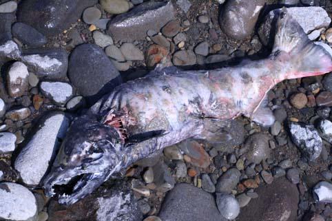 鮭の遡上-9