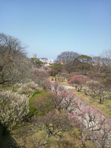 舞鶴公園の梅…