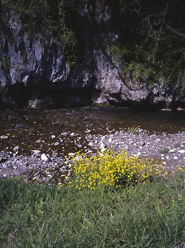 渓流の菜の花