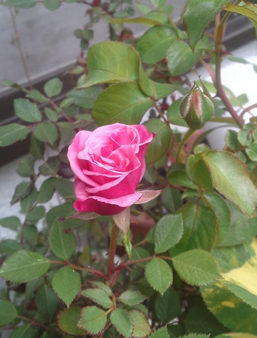 店前花壇・2011春 (2)