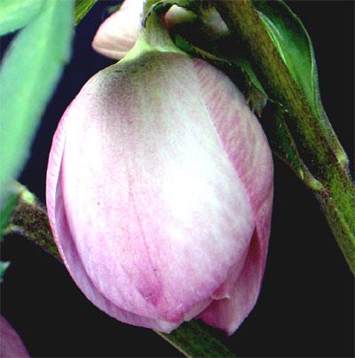 ヘレボラス ピンク蕾1