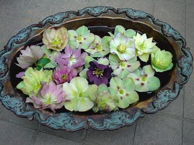 ヘレボラス 浮き花