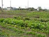 10月の野菜畑