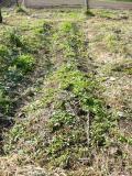 玉ねぎの定植前2