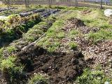 来年のトマトときゅうりの床に埋めます。