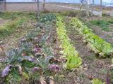 白菜とブロッコリ