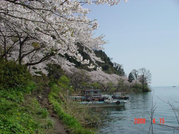 海津大崎の桜だそうな02