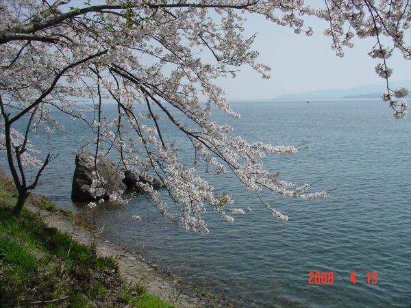 海津大崎の桜だそうな04