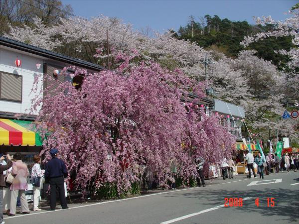 海津大崎の桜だそうな05
