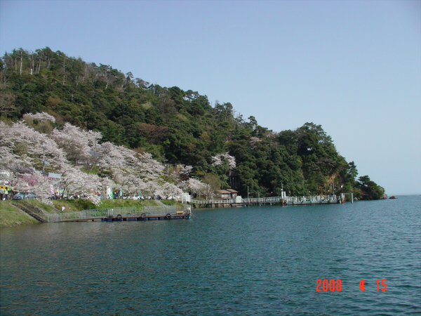 海津大崎の桜だそうな06