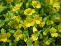 アルストロメリア 白黄