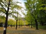 熊本県庁の銀杏2