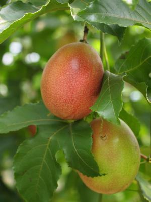 ジャンボパッションフルーツ