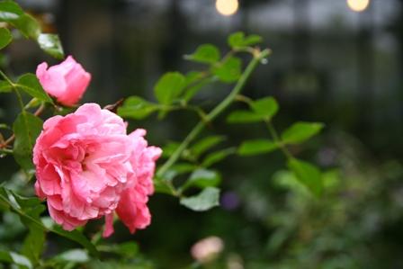 幸福のバラ