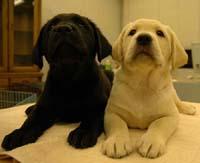 盲導犬繁殖の期待がかかる、人工授精で誕生した子犬