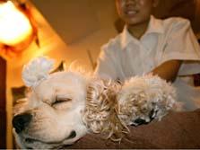 アロママッサージを受ける犬(大阪市中央区のわんわんネバーランドで)