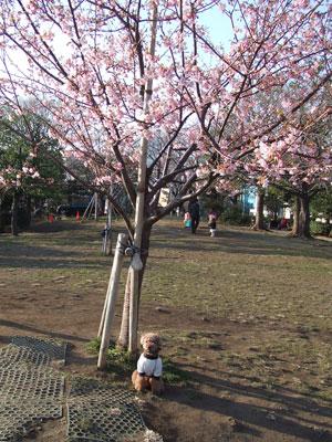 西郷山公園の川津桜