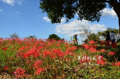 彼岸花の咲く丘とパラソル
