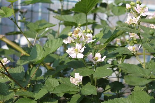 ブラックベリーの花1