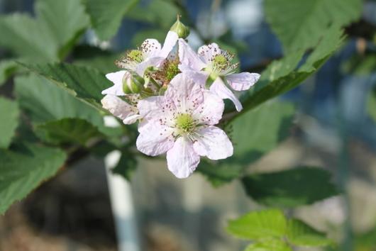ブラックベリーの花2