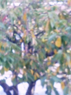 桜の葉の色づき 091017_0910~001