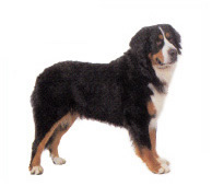 bernese_mountain_dog.jpg