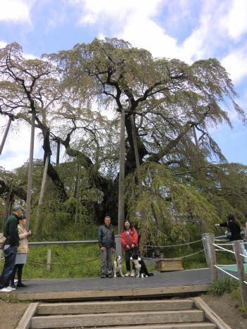 三春滝桜3